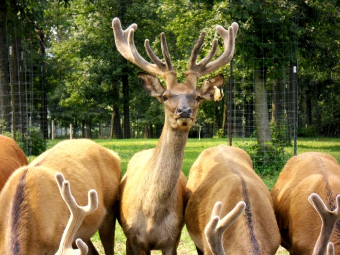 Highbourne Deer Farms Venison for Sale